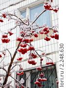 Купить «Обледенелые гроздья рябины после зимнего дождя», фото № 2248630, снято 26 декабря 2010 г. (c) Parmenov Pavel / Фотобанк Лори