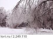 Купить «Обледенелые ветки деревьев. Последствие ледяного дождя в Москве», фото № 2249110, снято 27 декабря 2010 г. (c) Солодовникова Елена / Фотобанк Лори