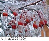 Купить «Плоды боярышника в ледяном панцире. Последствия ледяного дождя», фото № 2251306, снято 28 декабря 2010 г. (c) Владимир Сергеев / Фотобанк Лори