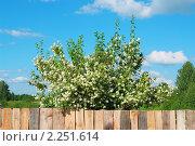 Купить «Цветущий жасмин за деревянным забором», фото № 2251614, снято 27 июня 2010 г. (c) Вадим Кондратенков / Фотобанк Лори