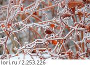Купить «Обледенелые ветви и листья березки после ледяного дождя», эксклюзивное фото № 2253226, снято 27 декабря 2010 г. (c) lana1501 / Фотобанк Лори