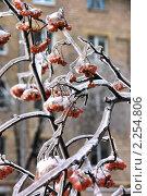Купить «Гроздь рябины под ледяной коркой», фото № 2254806, снято 1 января 2011 г. (c) Илюхина Наталья / Фотобанк Лори