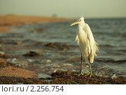 Купить «Малая белая цапля на Красном море - Синай, Египет», фото № 2256754, снято 7 сентября 2010 г. (c) Виктор Савушкин / Фотобанк Лори