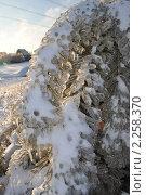Купить «Обледенелые иголки сосны», фото № 2258370, снято 30 декабря 2010 г. (c) Светлана Поцелуйкина / Фотобанк Лори