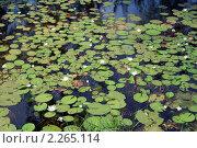 Купить «Водяные лилии», фото № 2265114, снято 23 декабря 2010 г. (c) Вера Тропынина / Фотобанк Лори
