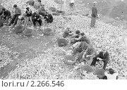 Купить «Студенты мехмата Днепропетровского государственного университета перебирают кукурузу в колхозе (1963 год)», фото № 2266546, снято 26 мая 2019 г. (c) Александр Федоренко / Фотобанк Лори