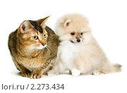 Купить «Кошка и щенок шпица», фото № 2273434, снято 8 января 2011 г. (c) Vladimir Suponev / Фотобанк Лори