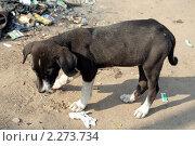 Купить «Уличный щенок с раной на лапе», фото № 2273734, снято 4 декабря 2010 г. (c) Вера Тропынина / Фотобанк Лори