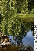 Плакучая ива. Стоковое фото, фотограф Александра Гаевская / Фотобанк Лори