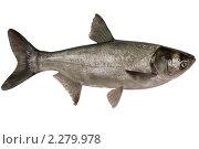 Купить «Hypophthalmichthys molitrix, толстолобик», фото № 2279978, снято 13 января 2011 г. (c) Goruppa / Фотобанк Лори