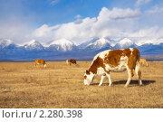 Пасутся коровы в предгорных лугах. Стоковое фото, фотограф Виктория Катьянова / Фотобанк Лори