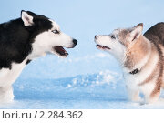 Купить «Сибирский хаски на снегу. Взрослая собака и щенок», фото № 2284362, снято 22 декабря 2010 г. (c) Евгений Захаров / Фотобанк Лори