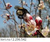 Купить «Цветение абрикоса», фото № 2296542, снято 25 апреля 2009 г. (c) Екатерина Белоусова / Фотобанк Лори