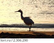 Купить «Взъерошенная цапля на берегу моря», фото № 2306290, снято 24 ноября 2010 г. (c) Михаил Коханчиков / Фотобанк Лори