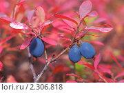 Купить «Голубика крупным планом», фото № 2306818, снято 15 сентября 2010 г. (c) Икан Леонид / Фотобанк Лори