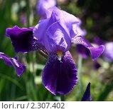 Купить «Ирис», фото № 2307402, снято 12 мая 2010 г. (c) Сергей Семин / Фотобанк Лори