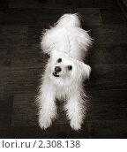 Купить «Китайская хохлатая собака паундер-пуф», фото № 2308138, снято 20 января 2019 г. (c) Игорь Яковлев / Фотобанк Лори