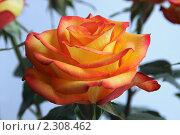 Купить «Роза», фото № 2308462, снято 22 ноября 2009 г. (c) Сергей Семин / Фотобанк Лори