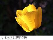 Купить «Тюльпан», фото № 2308486, снято 28 апреля 2010 г. (c) Сергей Семин / Фотобанк Лори