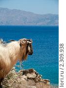 Купить «Горный баран на фоне синего моря», фото № 2309938, снято 7 августа 2010 г. (c) Mariya Volik / Фотобанк Лори