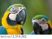 Сине-зеленый попугай Ара. Стоковое фото, фотограф Дмитрий Загорский / Фотобанк Лори