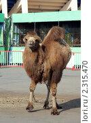 Купить «Верблюд в зоопарке», фото № 2315470, снято 18 октября 2009 г. (c) Вера Тропынина / Фотобанк Лори