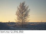Заиндевевшая береза на закате. Стоковое фото, фотограф Семин Илья / Фотобанк Лори