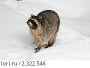 Купить «Московский зоопарк, енот», эксклюзивное фото № 2322546, снято 5 февраля 2011 г. (c) Дмитрий Неумоин / Фотобанк Лори