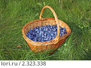 Купить «Корзина с урожаем терна на зеленой траве», фото № 2323338, снято 21 сентября 2008 г. (c) Владимир Сергеев / Фотобанк Лори