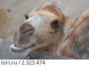 Купить «Верблюд», фото № 2323474, снято 21 июня 2009 г. (c) Сергей Семин / Фотобанк Лори