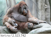 Купить «Московский зоопарк, обезьяна», эксклюзивное фото № 2323742, снято 5 февраля 2011 г. (c) Дмитрий Неумоин / Фотобанк Лори