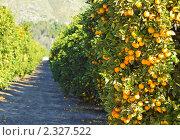 Купить «Плантаци апельсиновых деревьев в солнечную погоду», фото № 2327522, снято 14 января 2010 г. (c) Иванова Марина / Фотобанк Лори
