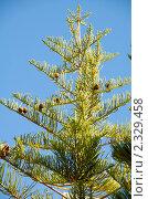 Купить «Араукария разнолистная (Araucaria heterophylla)», фото № 2329458, снято 14 декабря 2010 г. (c) Сергеев Игорь / Фотобанк Лори