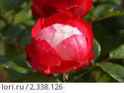 Купить «Роза», фото № 2338126, снято 20 августа 2009 г. (c) Сергей Семин / Фотобанк Лори
