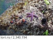 Купить «Морские звезды на камне», фото № 2340194, снято 20 сентября 2008 г. (c) Алексей Бугвин / Фотобанк Лори