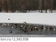 Птичий базар в полынье на озере в парке. Стоковое фото, фотограф Евгения Нижегородцева / Фотобанк Лори