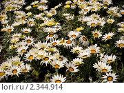 Клумба цветущей газании. Стоковое фото, фотограф Svetlana Yudina / Фотобанк Лори