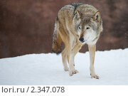 Волк. Стоковое фото, фотограф Анатолий Аверьянов / Фотобанк Лори