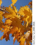 Купить «Желтые кленовые листья на фоне неба в солнечный день», фото № 2348066, снято 24 октября 2010 г. (c) Андрей Никифоров / Фотобанк Лори