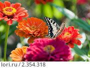 Купить «Бабочка на цветах», эксклюзивное фото № 2354318, снято 31 июля 2010 г. (c) Юрий Морозов / Фотобанк Лори