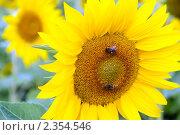 Купить «Цветущий подсолнечник с пчелами. Крупный план», фото № 2354546, снято 12 июля 2008 г. (c) Татьяна Белова / Фотобанк Лори