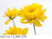 Купить «Жёлтые хризантемы», фото № 2360370, снято 2 июня 2009 г. (c) Тарханов Николай Алексеевич / Фотобанк Лори