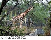 Купить «Жираф в зоопарке», фото № 2368662, снято 29 декабря 2010 г. (c) Вера Тропынина / Фотобанк Лори