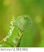 Купить «Чертополох (Carduus)», эксклюзивное фото № 2383562, снято 16 июля 2009 г. (c) Алёшина Оксана / Фотобанк Лори