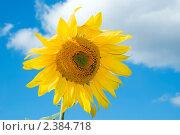 Купить «Цветущий подсолнечник на фоне неба», фото № 2384718, снято 16 июля 2008 г. (c) Татьяна Белова / Фотобанк Лори