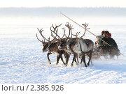 Оленья упряжка мчится по снегу, эксклюзивное фото № 2385926, снято 5 марта 2011 г. (c) Григорий Писоцкий / Фотобанк Лори