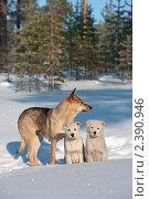 Купить «Дикая собака с двумя щенками в лесу», фото № 2390946, снято 8 марта 2011 г. (c) Икан Леонид / Фотобанк Лори