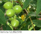 Плоды маньчжурского ореха. Стоковое фото, фотограф Andrei Prokofjev / Фотобанк Лори