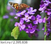 Купить «Бабочки репейница, или чертополоховка (Vanessa cardui), и лимонница (Gonepteryx rhamni) на лиловых цветах вечерницы (Hesperis)», фото № 2395838, снято 9 июня 2009 г. (c) Алёшина Оксана / Фотобанк Лори