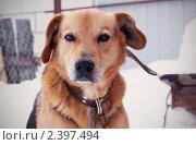 Собака на привязи. Стоковое фото, фотограф Байчихина Наталья / Фотобанк Лори